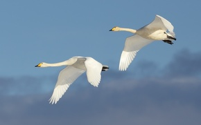 Picture flight, couple, swans