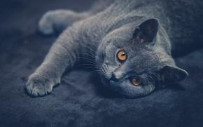 Picture cat, look, British Shorthair