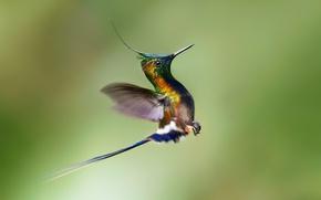 Picture bird, Hummingbird, flight, the rise