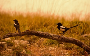 Picture field, birds, couple, branch