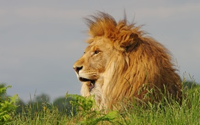 Picture grass, Leo, mane, the king of beasts
