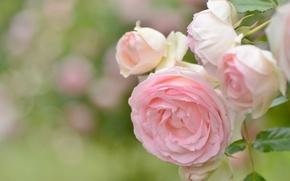 Wallpaper macro, roses, buds