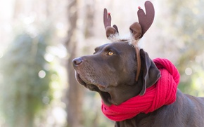 Picture look, face, red, nature, background, new year, portrait, dog, scarf, horns, decoration, ears, the gentle ...