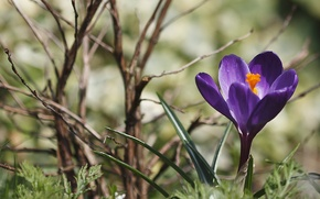 Picture purple, grass, branches, spring, Krokus