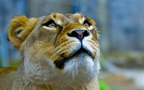 Wallpaper look, lioness, up, face, Queen