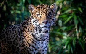 Picture face, foliage, shadow, predator, spot, Jaguar, wild cat
