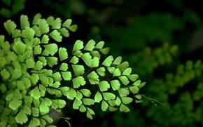 Picture leaves, macro, nature, leaves, Venus hair, bushes, macro shrub