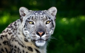 Picture greens, cat, face, predator, bars, wild