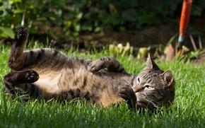 Picture cat, Koshak, lies, weed, Tomcat