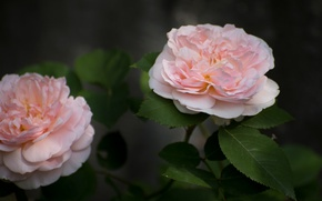 Picture roses, Duo, buds