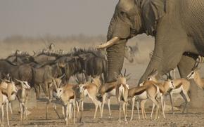 Picture animals, elephant, Savannah, the herd, antelope, Etosha national Park