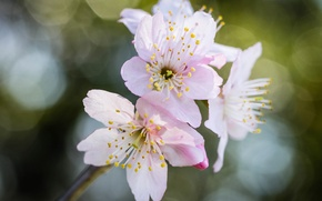 Picture flowers, bokeh, branch, Sakura, pink, glare
