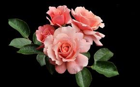 Wallpaper roses, buds, black background