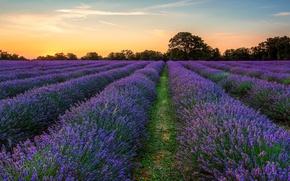 Picture field, purple, the evening, lavender