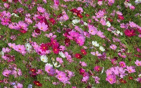 Picture field, nature, plant, petals, meadow, kosmeya