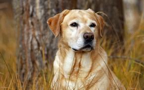 Picture autumn, grass, dog, dog, Labrador, hunter