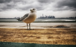 Picture sea, the city, storm, Seagull, gray clouds
