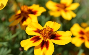 Picture flowers, yellow, solar, Marigolds