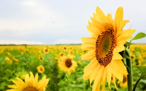 Picture summer, flowers, sunflower, sunflower