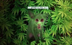 Picture greens, grass, eyes, look, dog, Background, hemp, marijuana, humor.