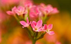 Wallpaper flower, nature, petals, inflorescence