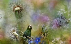 Wallpaper spring, macro, summer, dandelions