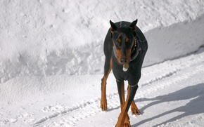 Picture snow, shadow, ears, cross, Doberman, black color