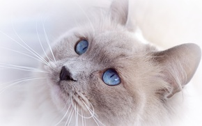 Picture cat, cat, look, face, blue eyes