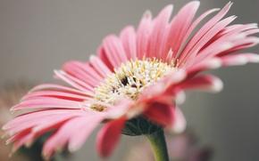 Picture petals, pink, gerbera