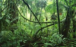 Picture trees, nature, moisture, plants, jungle, vines, Selva, rainforest