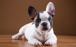 Wallpaper breed, puppy, French bulldog