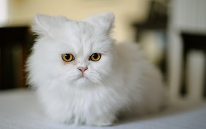 Picture cat, look, muzzle, white, Persian cat