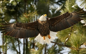 Picture branches, bird, wings, hawk, bald eagle