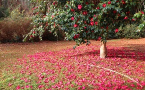 Picture flowers, nature, tree, pink, flowering, trees, flowers, Camellia