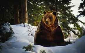 Picture Snow, Forest, Bear