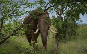 Picture grass, trees, nature, elephant, tusks