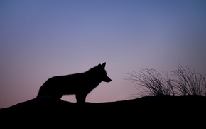 Picture twilight, fox, hill, dusk, silhouette