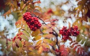 Picture autumn, leaves, berries, blur, Rowan, bokeh