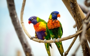 Picture birds, branches, pair, parrots, colorful, bokeh, multicolor lorikeet
