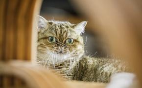 Picture cat, look, Koshak, Tomcat, Shorthair