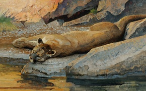 Picture cat, water, stream, stones, stay, sleep, predator, picture, art, lies, Puma, drink, wild, boulders, Bob …