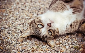 Picture cat, eyes, cat, look, face, pebbles
