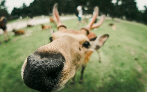 Picture animal, deer, nose