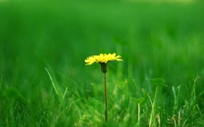 Wallpaper dandelion, grass, clover