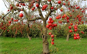 Wallpaper tree, apples, garden, harvest