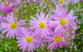 Wallpaper pink, petals, chrysanthemum