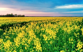 Wallpaper Field, yellow