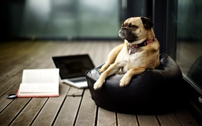 Picture look, background, Wallpaper, pictures, dog, muzzle, dog, pug, wallpapers, breed