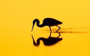 Picture reflection, bird, silhouette, Heron