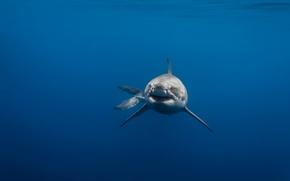 Picture sea, predator, shark, white